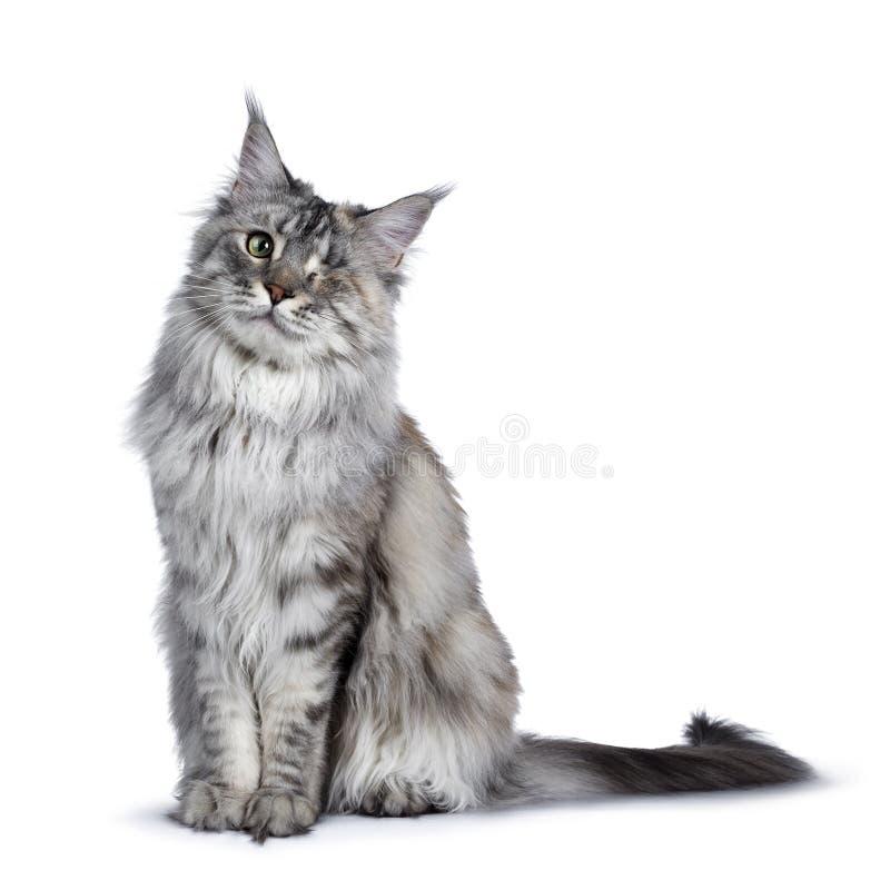 Se eyed o gato de prata de Maine Coon do tortie no branco imagem de stock royalty free