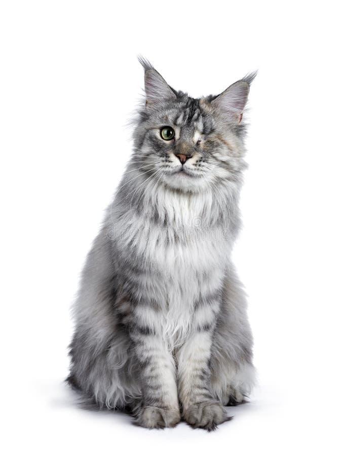 Se eyed o gato de prata de Maine Coon do tortie no branco imagens de stock royalty free