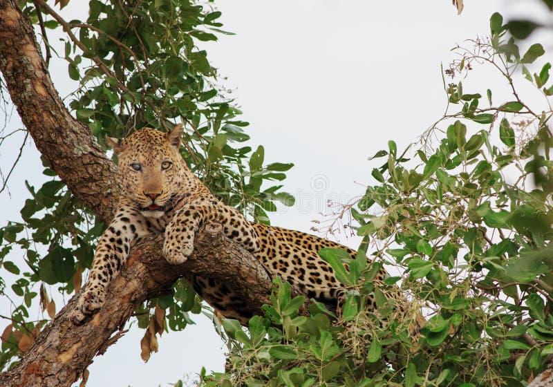 Se eyed o leopardo que descansa em uma árvore no luangwa sul, Zâmbia fotografia de stock