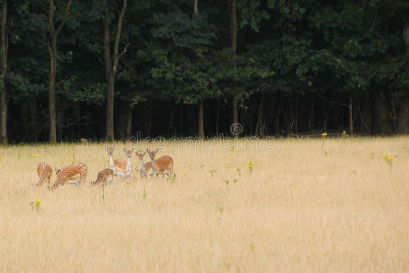 Se för hjortfamilj arkivbilder