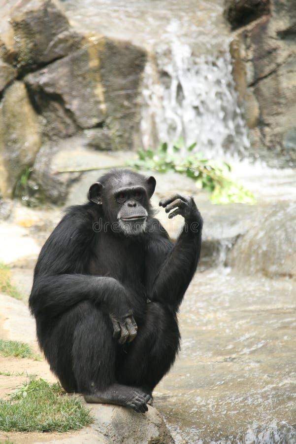 se för schimpans arkivbild