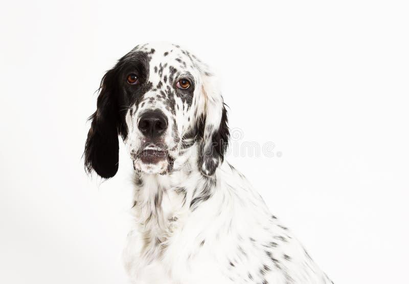 Se för ståendesetterhund royaltyfria foton