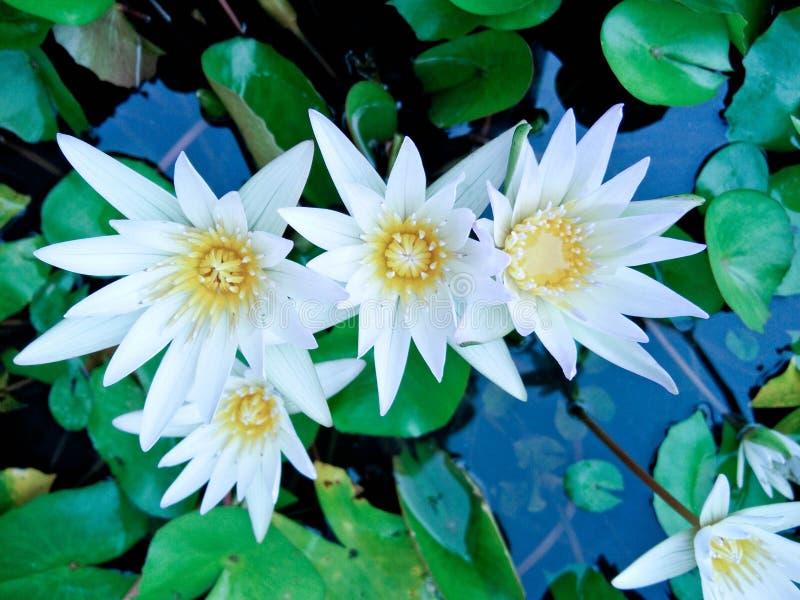 Se felicita la flor de loto hermosa imagenes de archivo