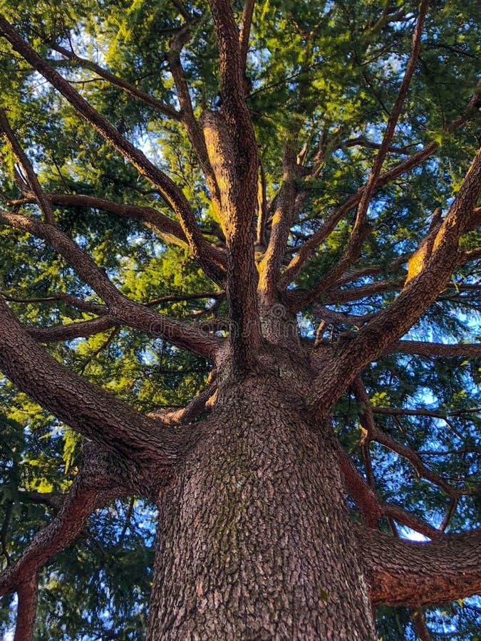 Se från jordningen upp igenom till trädöverkanten royaltyfri bild