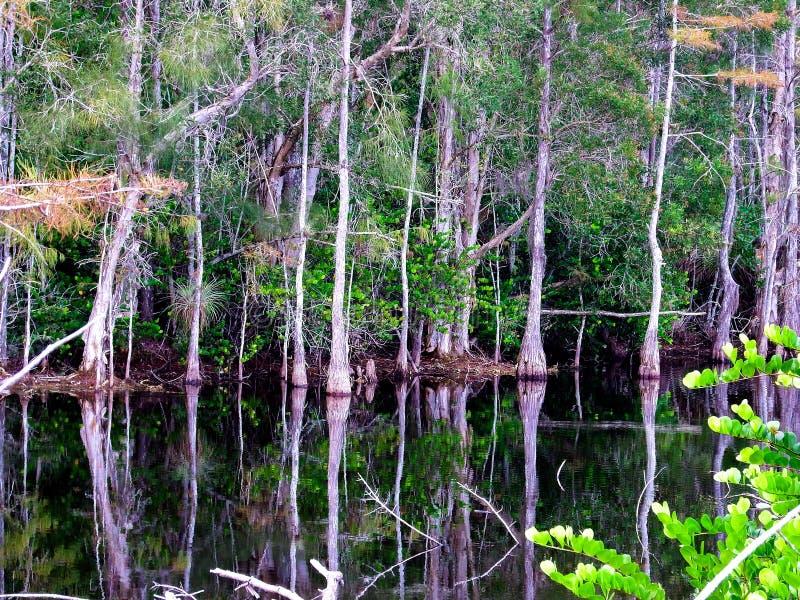Se in i ett cypressträsk i den gräs- vattensylten av de Florida evergladesna royaltyfri fotografi