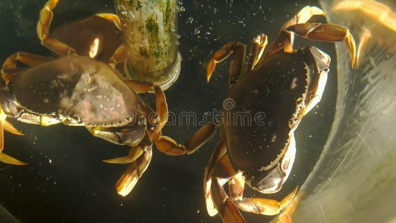 Se ner in i en behållare av levande dungenesskrabbor på marknaden för pikställe i seattle royaltyfri foto