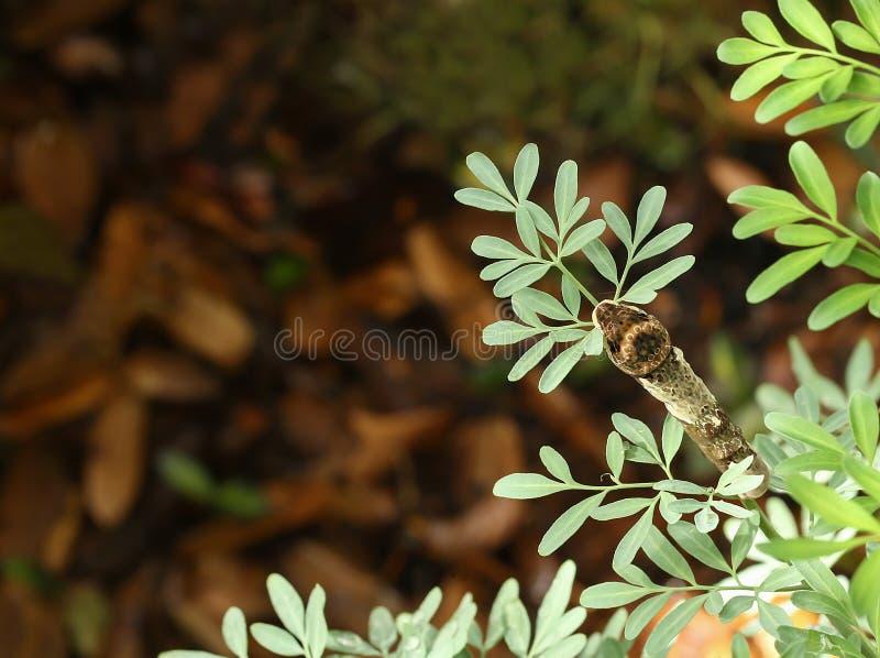 Se ner på en jätte- swallowtail som äter en Rueväxt arkivfoto