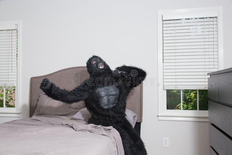 Se réveiller grincheux - gorille dans le lit images libres de droits