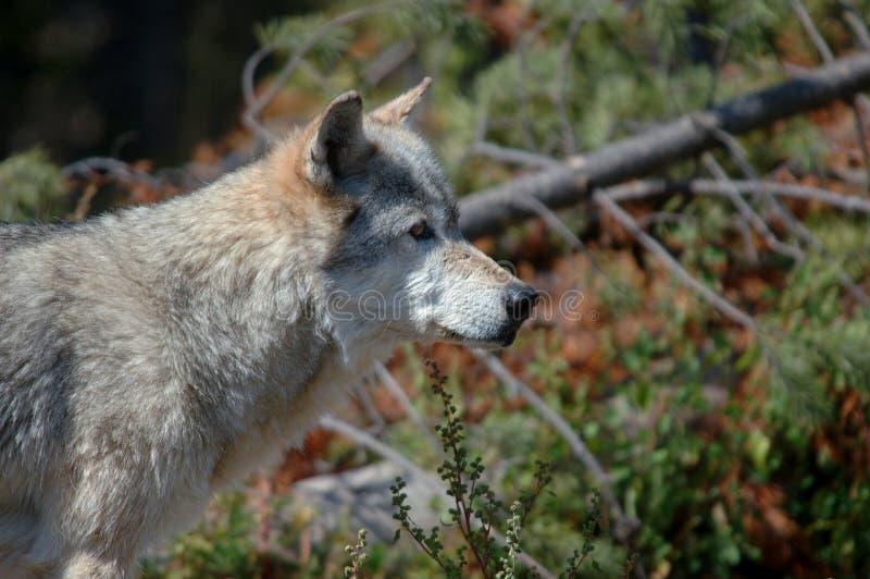 se rakt till wolfen fotografering för bildbyråer