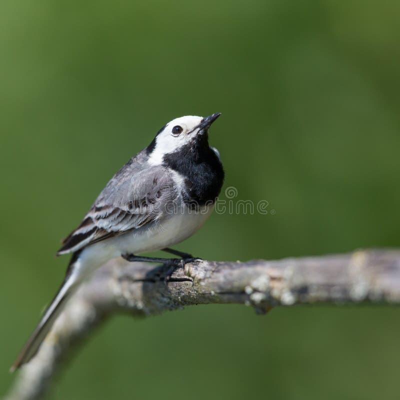 Se reposer alba de hochequeue de portrait de motacilla blanc d'oiseau sur la branche en soleil image stock