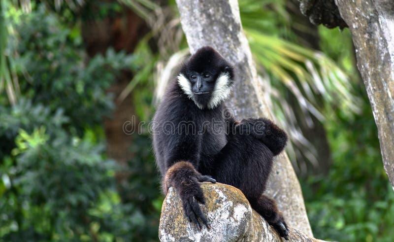 Se reposer blanc-Cheeked du nord masculin de leucogenys de Gibbon Nomascus image stock