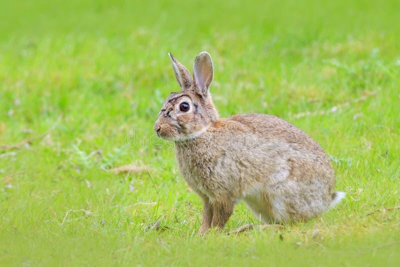 Se reposer commun européen sauvage de cuniculus d'Oryctolagus de lapin images libres de droits