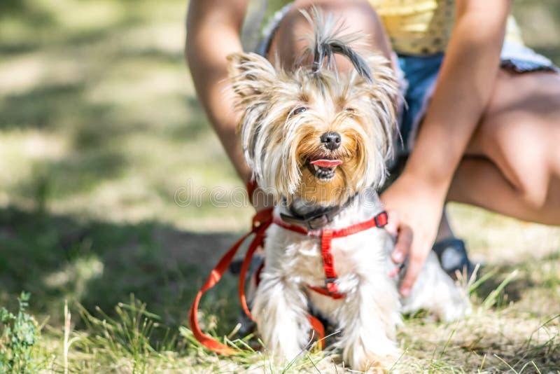 Se reposer se reposant de petit chien de Yorkshire Terrier près des pieds de sa fille de propriétaire image stock