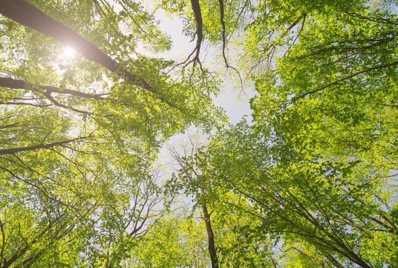 Se upp den soliga skogen med solljus Tr?d med gr?na sidor Tree med greenLeaves och sunlampa royaltyfri foto