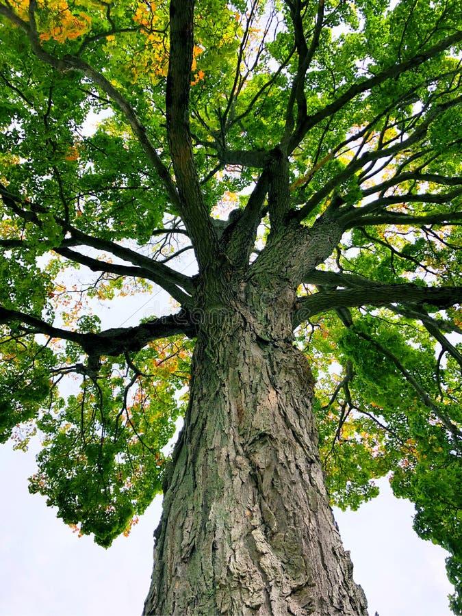 Se upp ett stort sockerlönnträd arkivbild