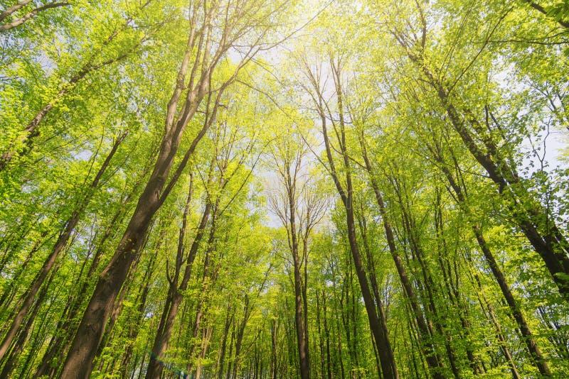 Se upp härliga skogträd för solljus med gröna sidor Botten besk?dar arkivfoton