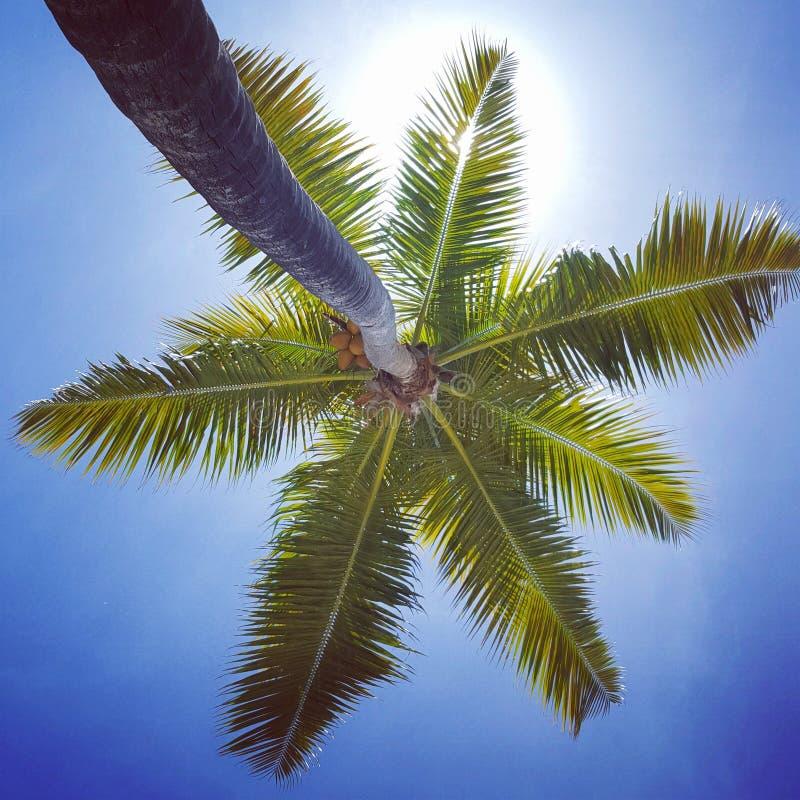 Se upp in i blå himmel under en kokospalm arkivfoton