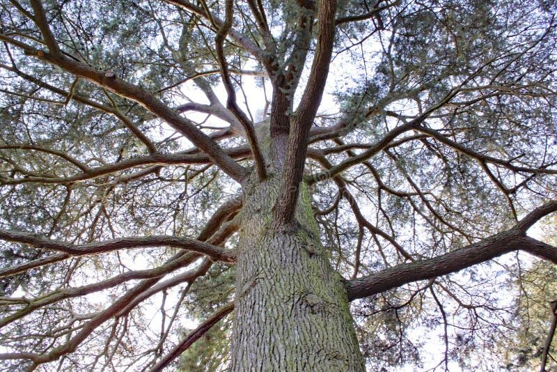 Se upp in i ett träd på den Arley arboretumen i Midlands i England arkivfoto