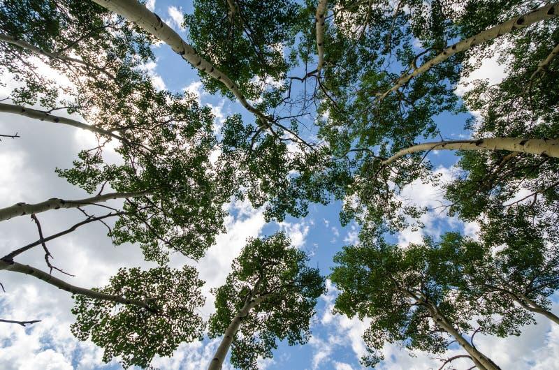 Se upp på björkträd med härlig blå himmel och intressera moln arkivbild