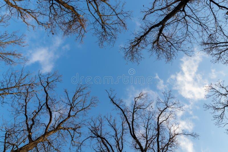 Se upp på ekarna i vinter royaltyfri fotografi
