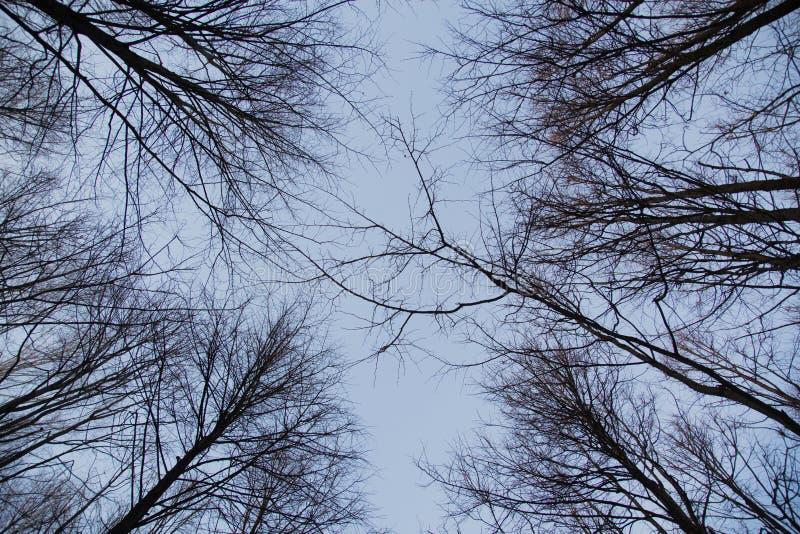 Se upp på träd i vinter royaltyfri bild