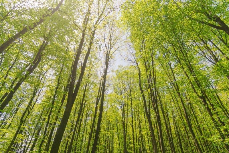 Se upp soliga härliga skogträd för sommar med gröna sidor Botten besk?dar royaltyfria foton