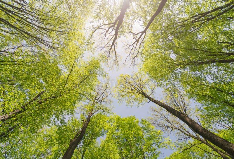 Se upp soliga skogträd med gröna sidor Tree med greenLeaves och sunlampa arkivfoto