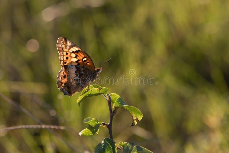 Se va volando perfil cerrado de la mariposa abigarrada del Fritillary foto de archivo libre de regalías