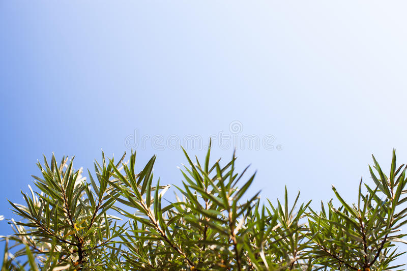Sea ​​buckthorn leafs and blue sky royalty free stock images