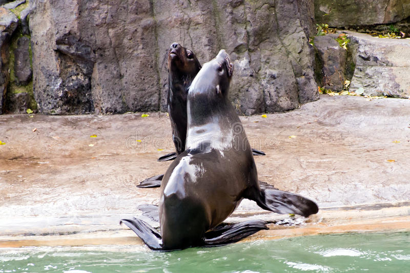 Sea lion, friendly animals at the Prague Zoo stock images