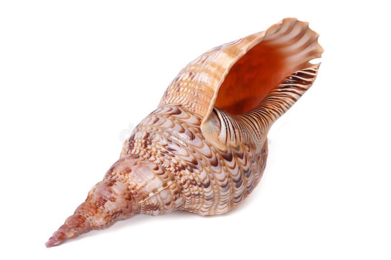 Sea ​​shell from the Indian Ocean is isolated royalty free stock photo