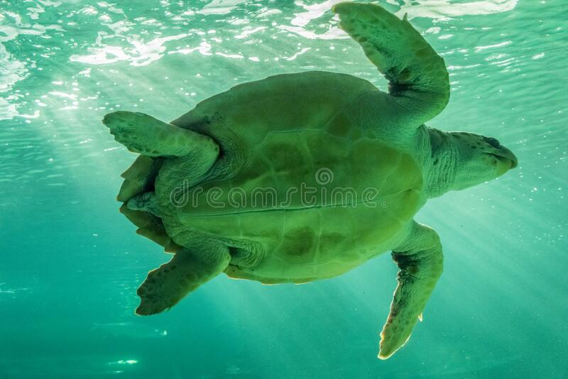 Sea turtle swimming near the surface.  royalty free stock image