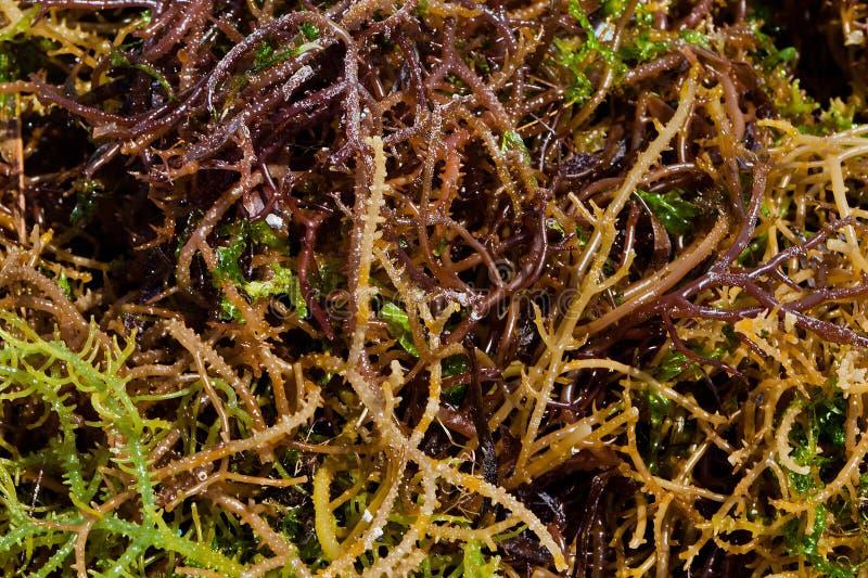 Sea algae stock image