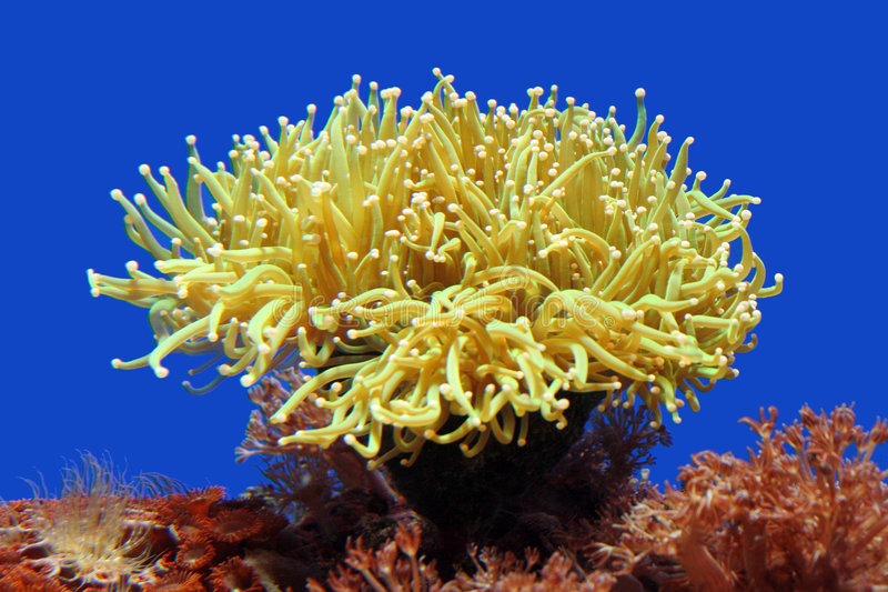 Sea Anemone royalty free stock images