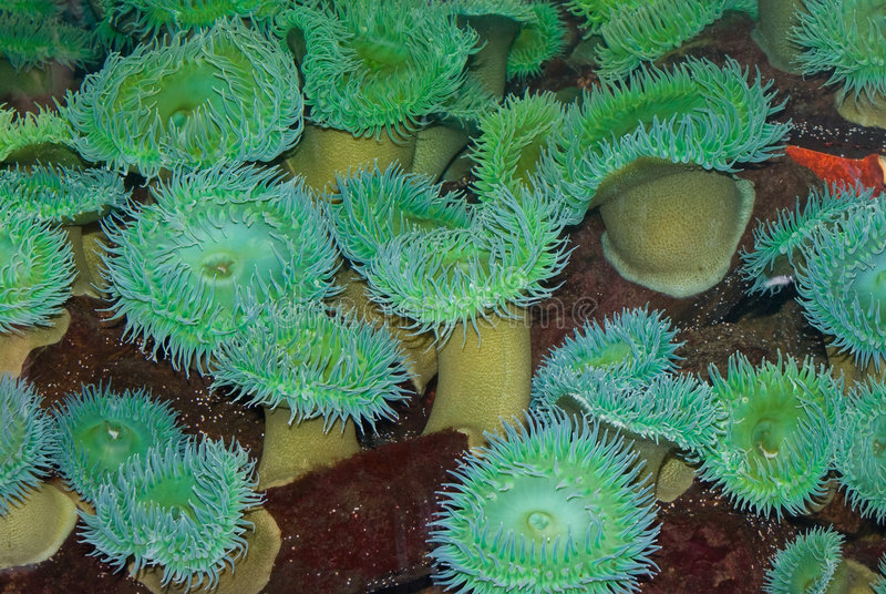 Sea Anemone. Green Sea Anemone Sea anemones are a group of water dwelling, predatory animals of the order Actiniaria; they are named after the anemone, a stock photography