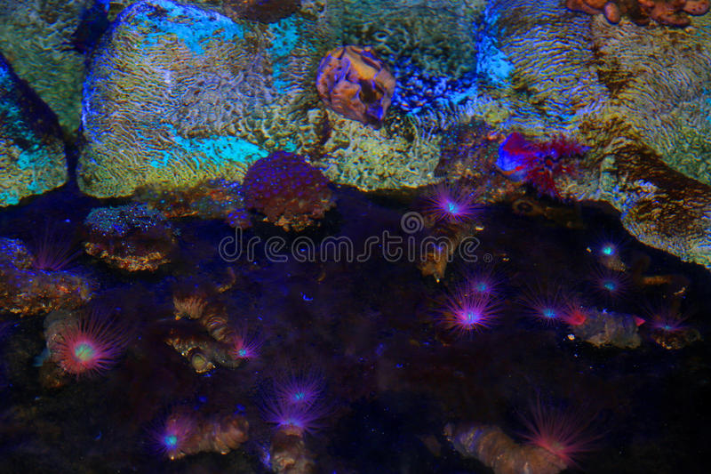 Sea anemone. Beautiful bright fluorescent sea anemone royalty free stock photos