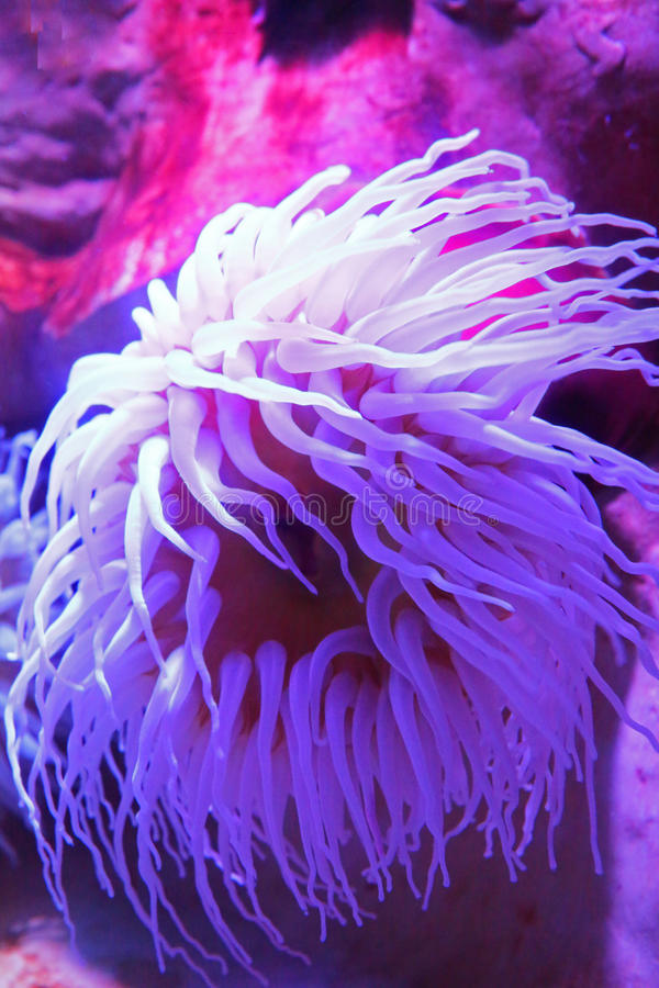 Sea anemone. Beautiful bright fluorescent sea anemone stock photo
