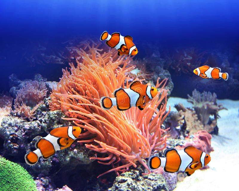 Sea anemone and clown fish. In ocean royalty free stock photos