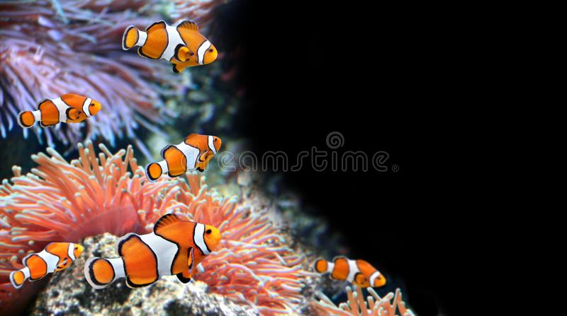 Sea anemone and clown fish. In marine aquarium. Isolated on black background. Copy space for text. Mock up template royalty free stock photos