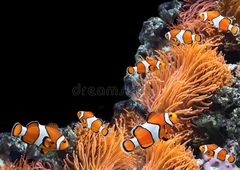 Sea anemone and clown fish. In marine aquarium. Isolated on black background. Copy space for your text stock image