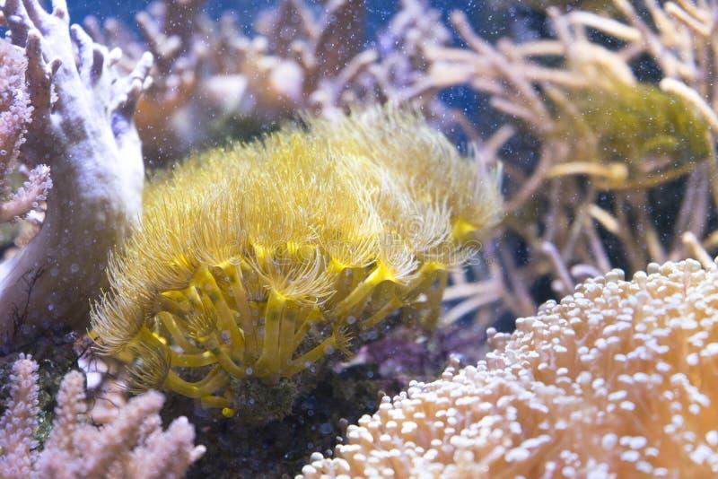 Sea anemone Condylactis gigantea underwater in the sea. Marine life sea anemone Condylactis gigantea underwater in the sea royalty free stock photo