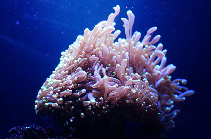 Sea anemone in a dark blue water of aquarium. Tropical marine life background. royalty free stock images