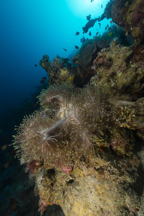 Sea anemone in the red sea stock photos