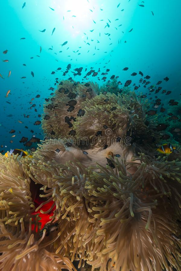 Sea anemone in the red sea royalty free stock photos