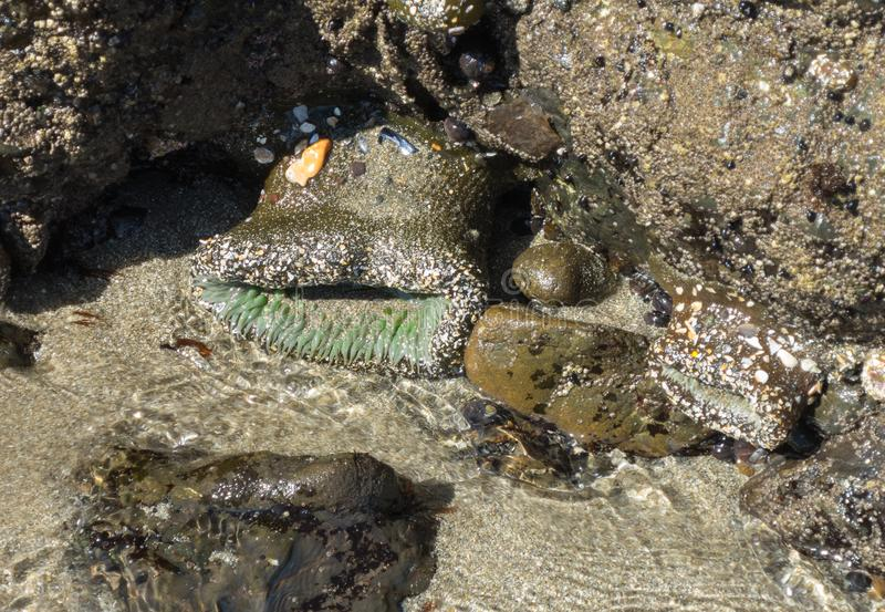 Sea Anemone in a tide pool. Life in a tidepool, Sea Anemone, Cnidarians stock images