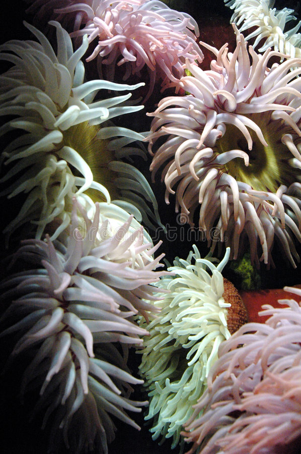 Sea Anemones. A collection of sea anemones stock photos