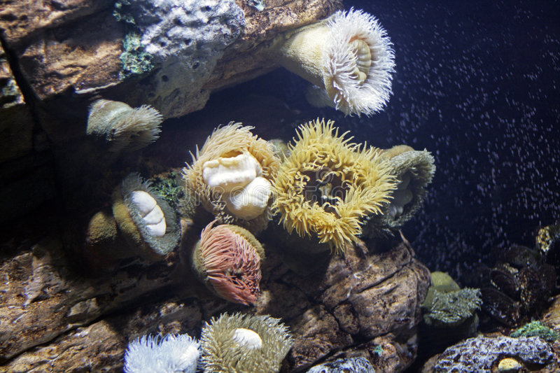 Download Sea Anemones stock image. Image of underwater, water, cnidaria - 5739471