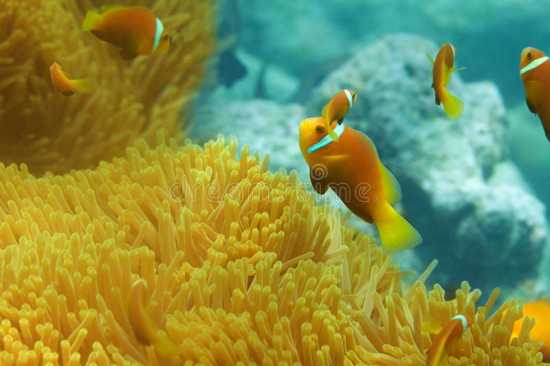 Sea anemones and clownfish shoal stock photography