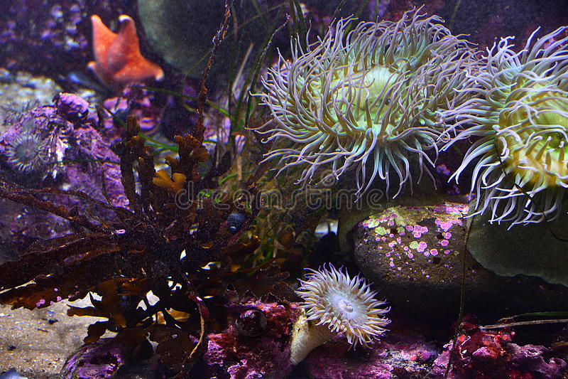 Sea anemones royalty free stock photo