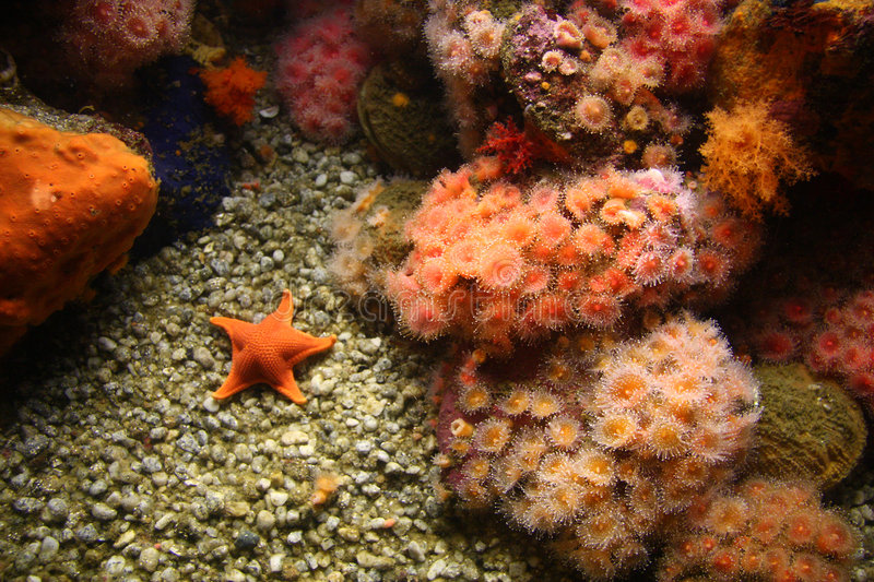 Sea anemones and starfish stock image